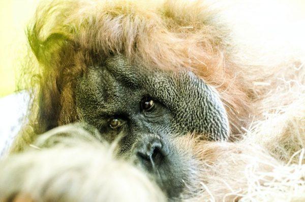 primates with trading accounts - smart orangutan