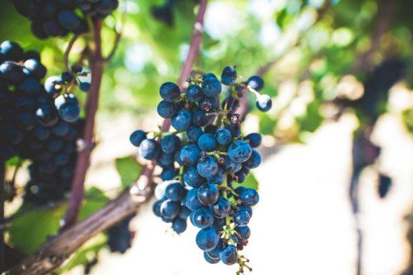 soft return on investment - grape-harvest